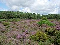 Patch of heathland - geograph.org.uk - 222102.jpg