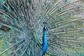 Pavo cristatus (Indian Peafowl) 26.jpg
