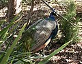 Peacock (3617605802).jpg