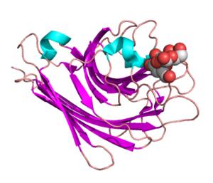 Peanut agglutinin - Peanut Agglutinin complexed with a di-galactose. PDB entry 2dvd
