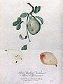 Pear (Pyrus species); fruiting branch with sections of fruit Wellcome V0043135.jpg