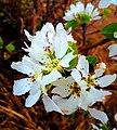 Pear Blossom in Eastern Siberia.jpg