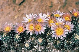 Pediocactus knowltonii fh 27 5 COL NM border in cultur B.jpg