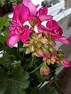 Pelargonium × hortorum - γεράνι 01.jpg