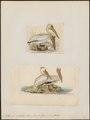Pelecanus mitratus - 1700-1880 - Print - Iconographia Zoologica - Special Collections University of Amsterdam - UBA01 IZ18000163.tif