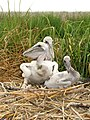 Pelecanus occidentalis -Chesapeake Bay, Maryland, USA -chicks in nest-8.jpg