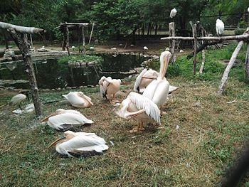 Pelican in Nehru Zoological Park, Hyderabad.jpg