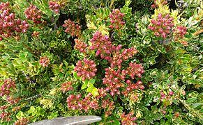 Pentacalia vernicosa - Páramo de Ocetá.jpg