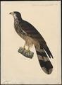 Pernis longicauda - 1825-1839 - Print - Iconographia Zoologica - Special Collections University of Amsterdam - UBA01 IZ18200314.tif