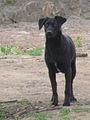 Perro callejero (11001711684).jpg