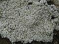 Pertusaria amara (Ach.) Nyl 315695.jpg