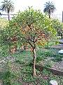 Petit oranger au jardin de Carnolès.jpg