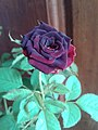 Petite-rose-2.jpg