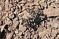 Phacelia brachyantha (30610204305).jpg