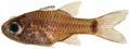 Phaeoptyx conklini - pone.0010676.g074.png