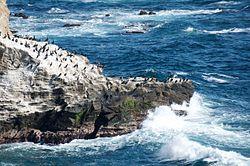 Phalacrocorax capillatus, Jogashima Island, Japan 1.jpg