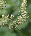 Phalaris arundinacea flowers, rietgras bloempjes (2).jpg
