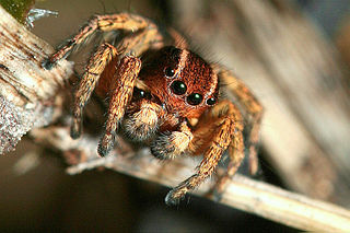 <i>Phlegra</i> (spider) Genus of spiders