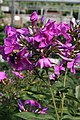 Phlox paniculata Blue Paradise 6zz.jpg