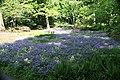 Phlox stolonifera Sherwood Purple 8zz.jpg