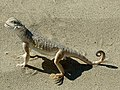 Phrynocephalus guttatus-animal-reader.ru 2.jpg
