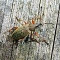 Phyllobius glaucus 39024399.jpg