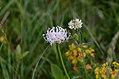 Phyteuma orbiculare 01 white.jpg