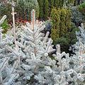 Picea pungens 'Edith' Vasic.jpg