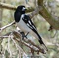 Pied Butcherbird. Cracticus nigrogularis - Flickr - gailhampshire.jpg