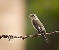 Pied flycatcher (30365006068).jpg