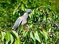 Pigeon ramier sur cerisier (6).JPG