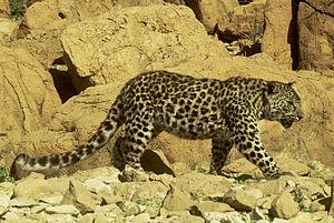Arabian leopard - Arabian leopard at Judean Desert, Israel.