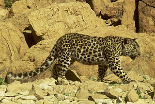Arabian leopard Leopard subspecies in Arabian Peninsula