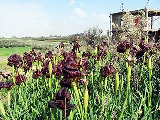 Iris atropurpurea - Image: Piki Wiki Israel 20387 Plants of Israel