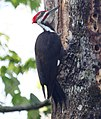 Pileated Woodpecker (4342538696).jpg
