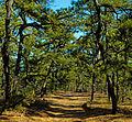 Pine Barrens 2.jpg