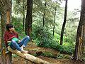 Pine Forest (Gn. Halimun Salak National Park) 01.jpg