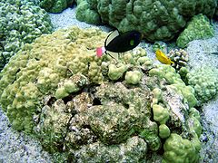 Pink Tail Triggerfish in kona.jpg