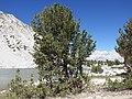 Pinus albicaulis (7888765564).jpg