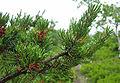 Pinus banksiana pollen cones.jpg