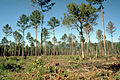Pinus echinata thinned forest 2.jpg