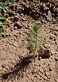 Pinus halepensis kz02 (Morocco).jpg