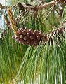 Pinus patula, UC Berkeley Botanical Gardens 2.jpg