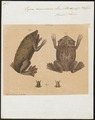 Pipa americana - 1700-1880 - Print - Iconographia Zoologica - Special Collections University of Amsterdam - UBA01 IZ11500267.tif