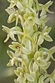 Piperia michaelii - Flickr 003.jpg