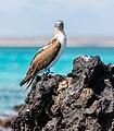Piquero patiazul (Sula nebouxii), Las Bachas, isla Santa Cruz, islas Galápagos, Ecuador, 2015-07-23, DD 18.jpg