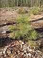 Pitch pine 4.jpg