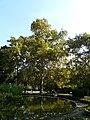 Plàtan - arbre d'interès local - parc de Vil·la Amèlia P1280088.jpg