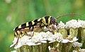 Plagionotus floralis side3.JPG