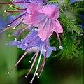 Plant-Echium vulgare-Slangenkruid2.jpg